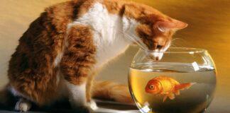 gatto guarda pesce rosso