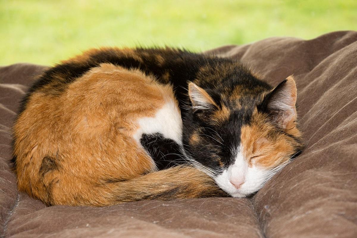 gatto tricolore che dorme