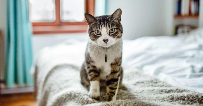 gatto salta sul letto