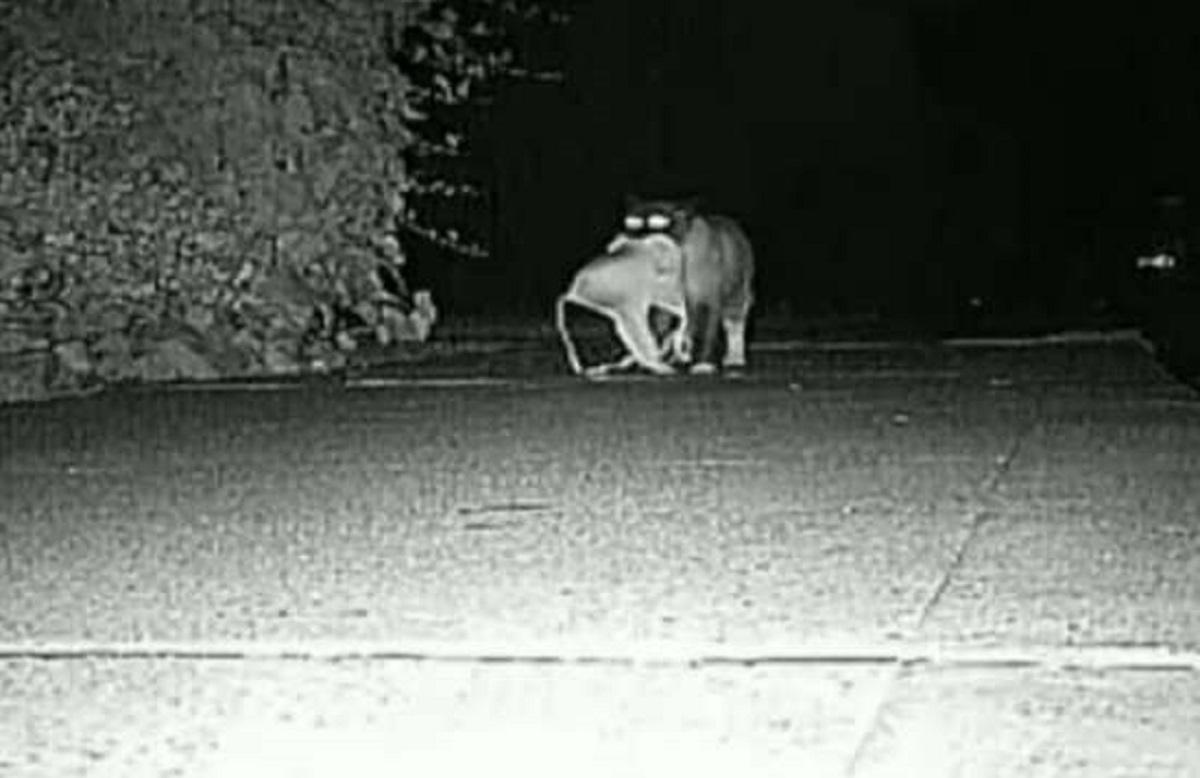 lucey gattina telecamere sorveglianza