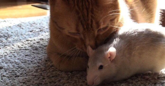 gattino ranj topolino