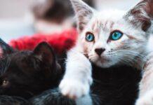 gattino che litiga con altri gattini
