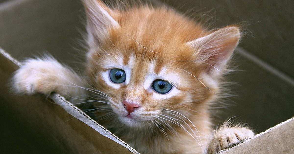 gatto in scatola di cartone