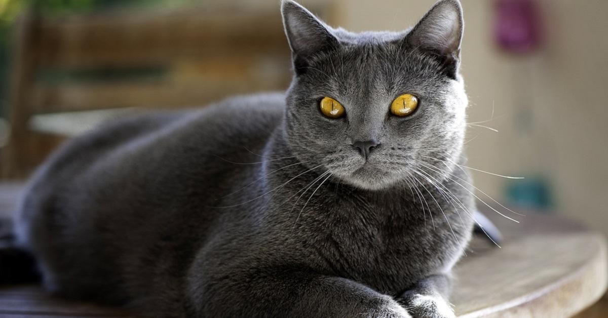 gatto grigio con occhi gialli