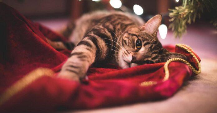 gatto su coperta