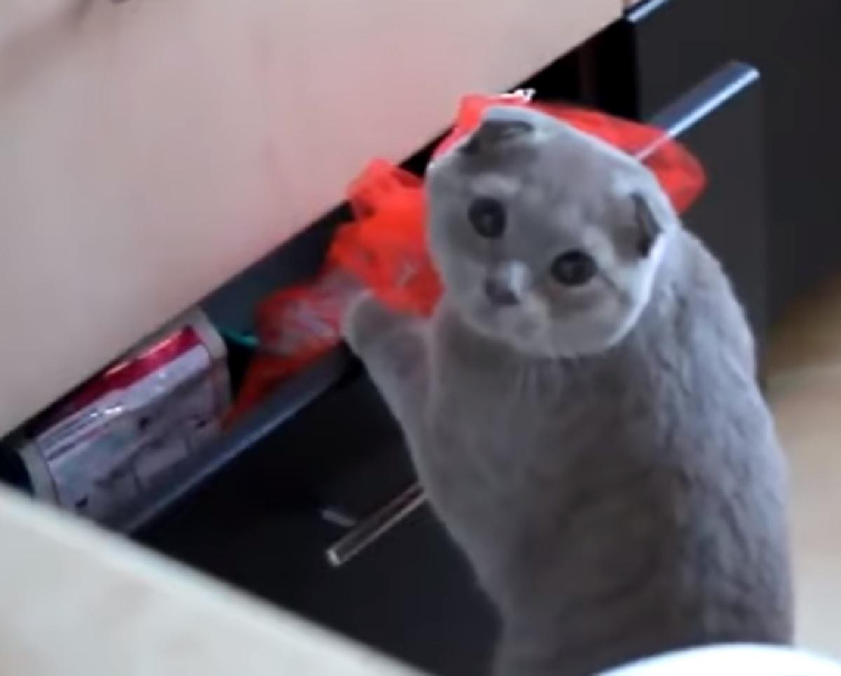 gattino scottish fold reazione