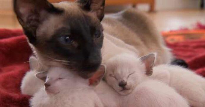 sandra gattina siamese diventa mamma per la prima volta