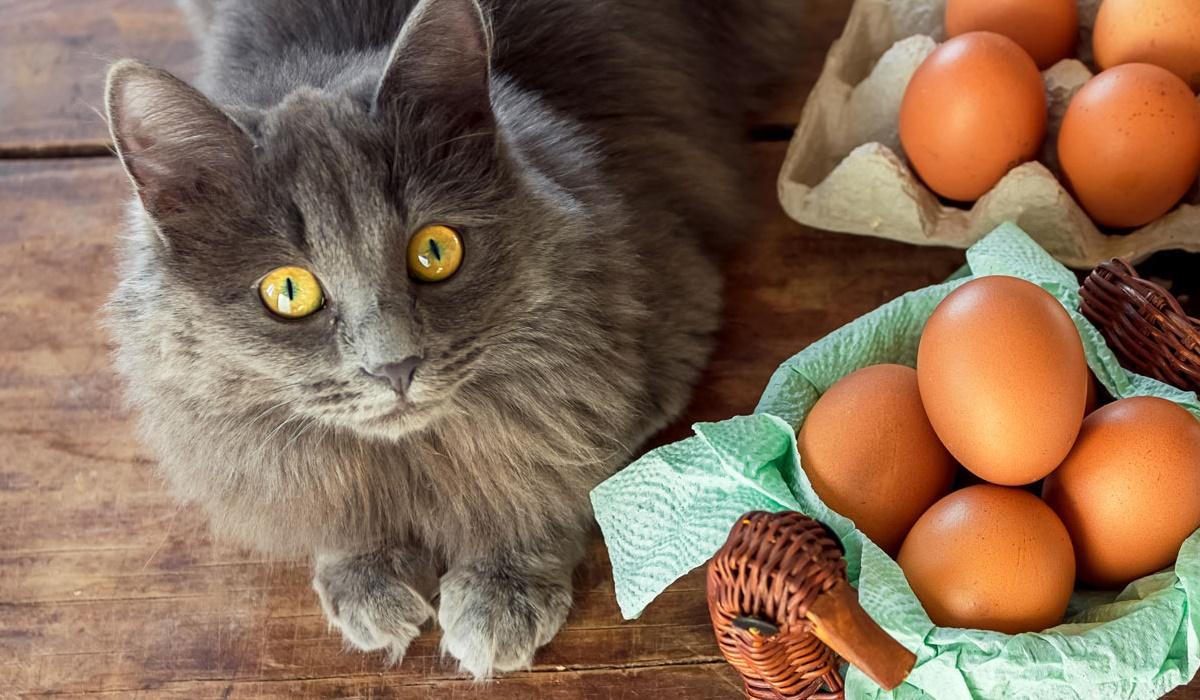 gatto a pelo lungo e grigio