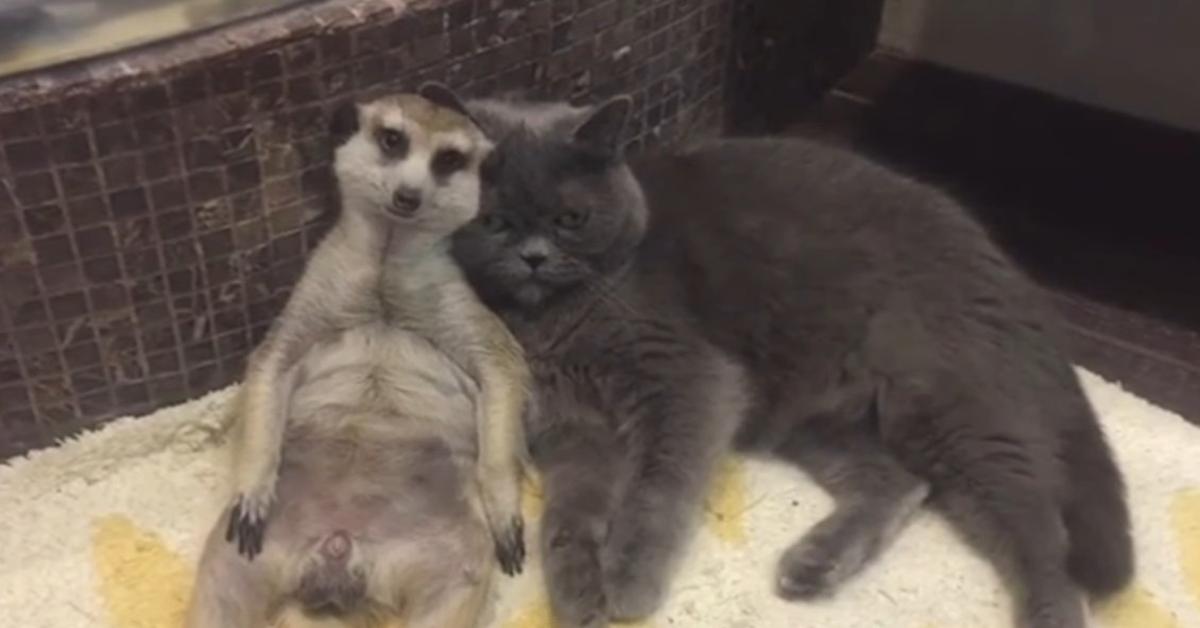gattino e suricato abbracciati