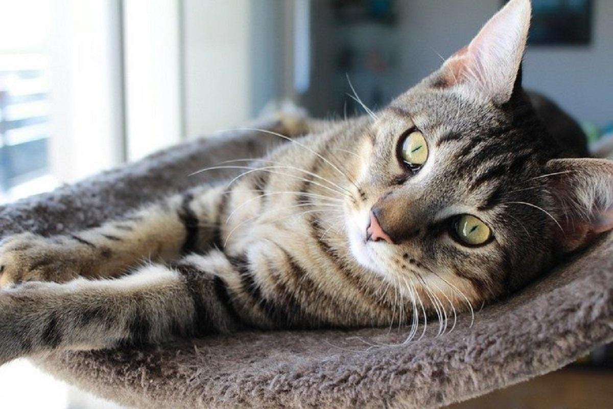 foto gatto soriano