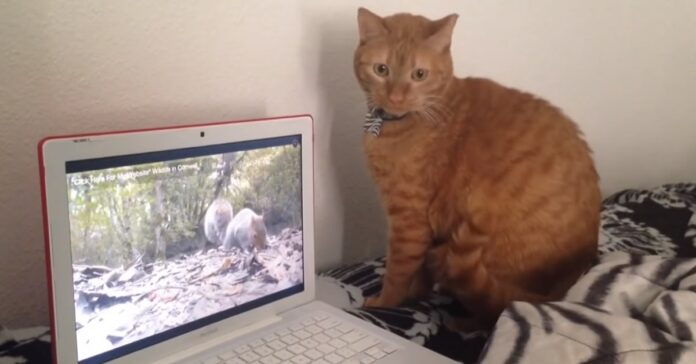 un computer separa gattino europeo da scoiattolo video risata