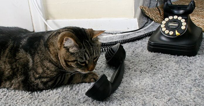 gattino telefono risposta