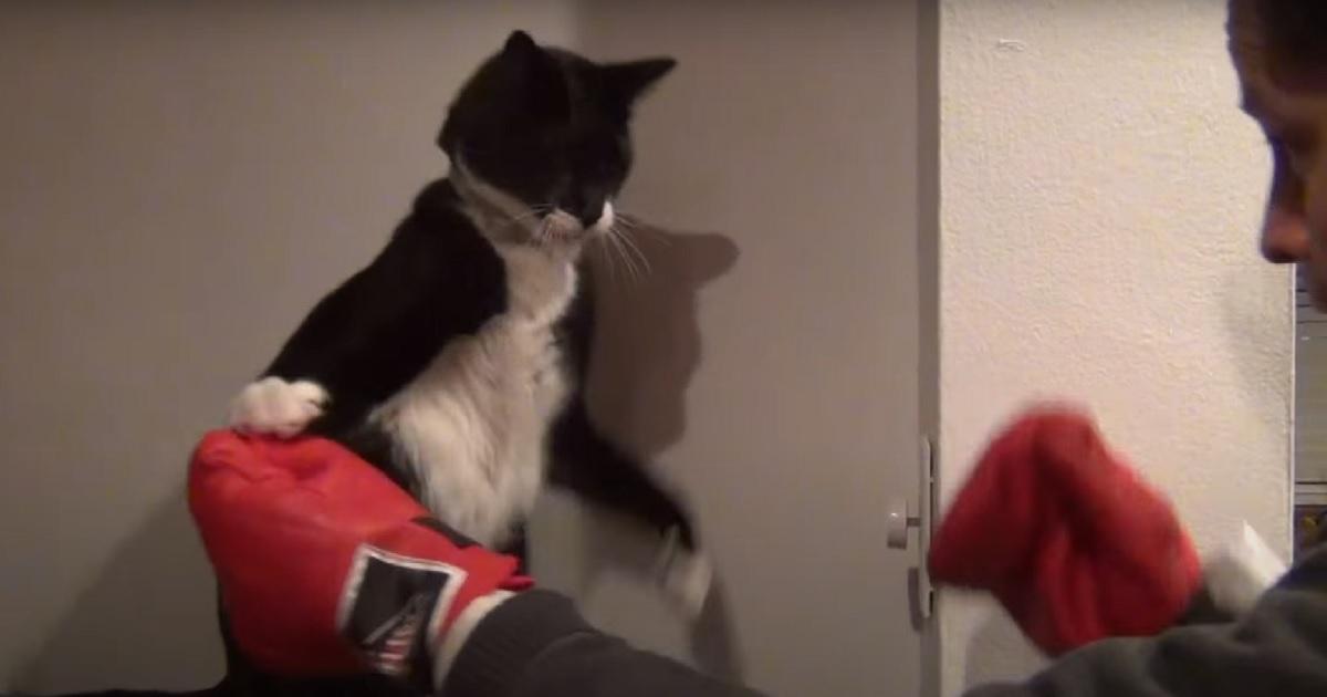 boxe gattino sfida