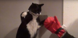 gattino pugile incontro