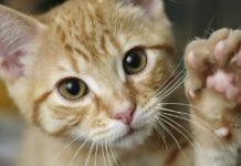 gatto alza la zampa