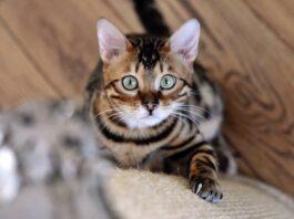 gatto che si arrampica sul divano