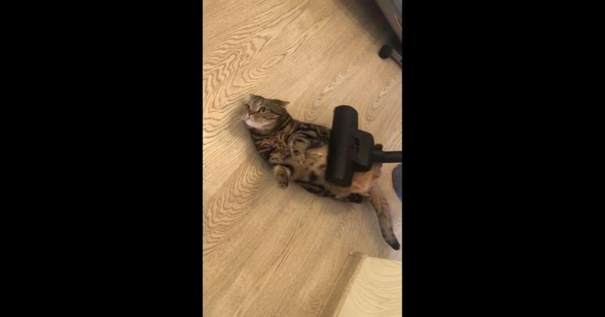 gattino grigio pancia in su