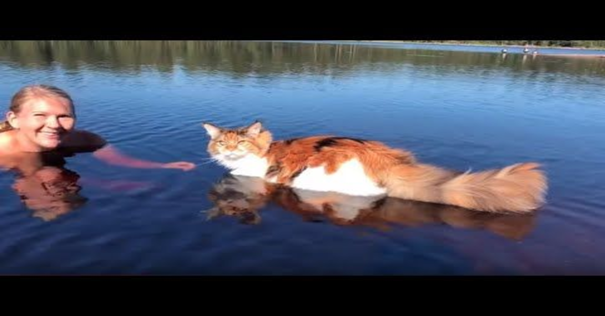 Maine Coon fa il bagno con la padrona nel lago