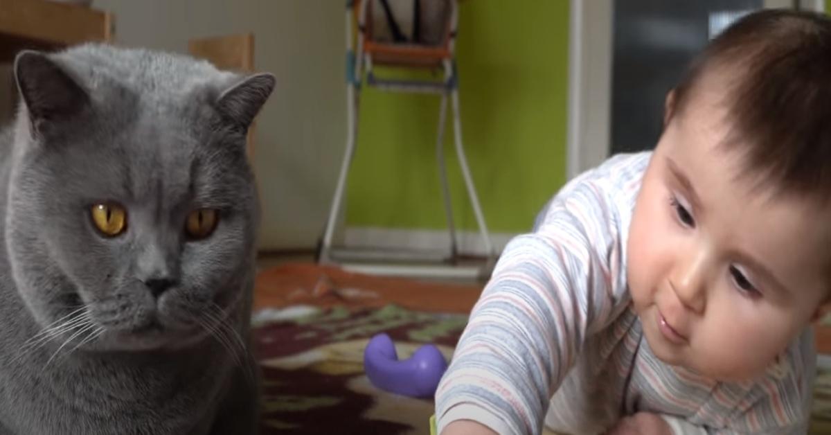 video gattina British Shorthair