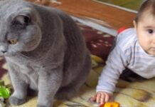 video gattina British Shorthair