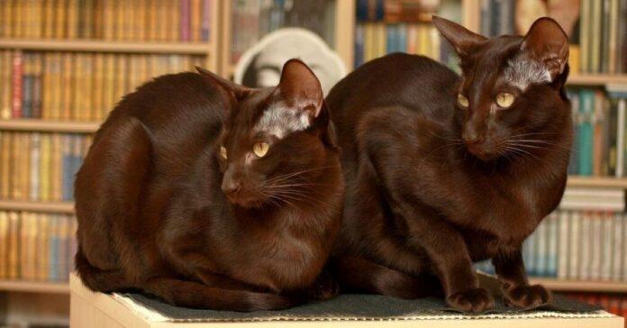 cuccioli di havana brown quanto pesano