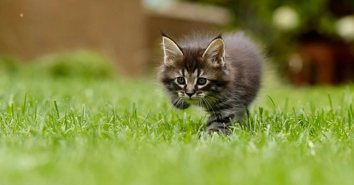 Gatto che cammina
