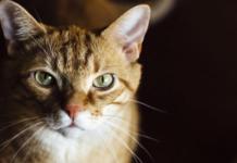 gatto primo piano