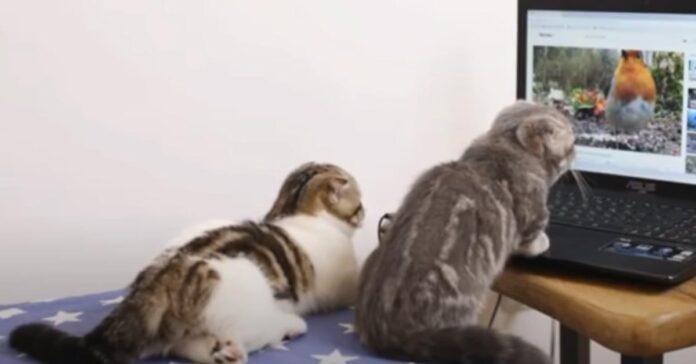 Gatti che guardano un video