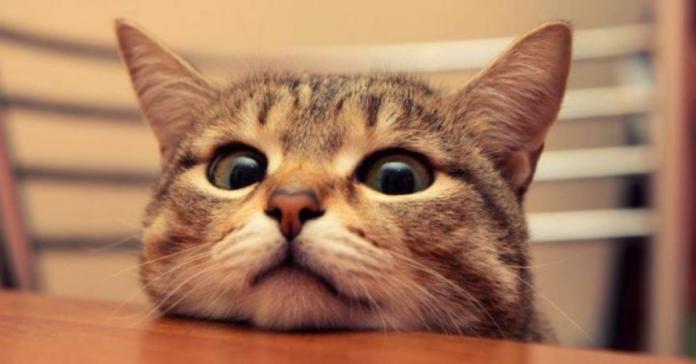 gatto grigio curioso