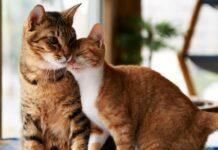 gatto adulto aggressivo con un gattino