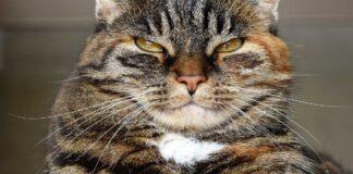 gatto possente