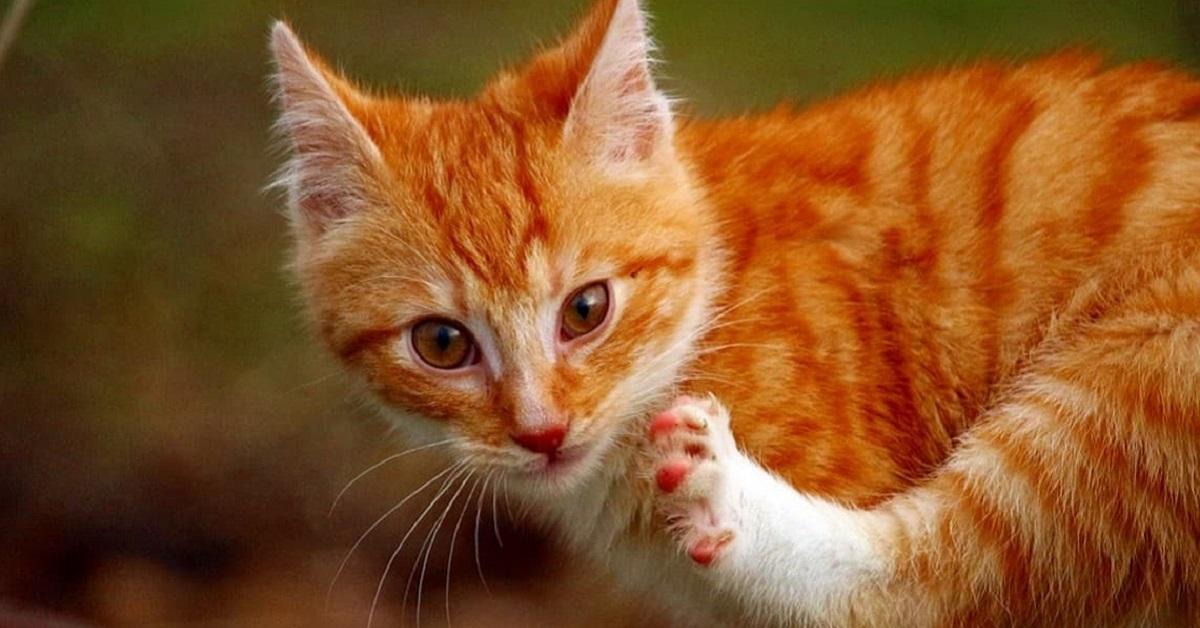 gatto rosso si gratta