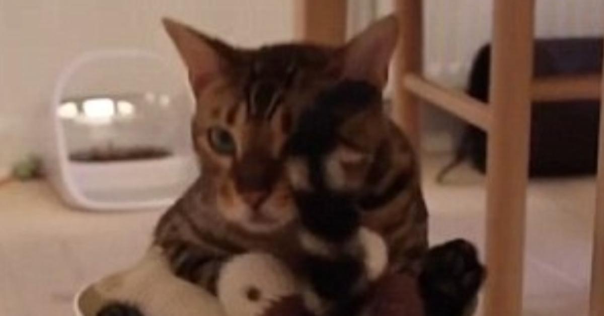 Gilbert gatto del Bengala video
