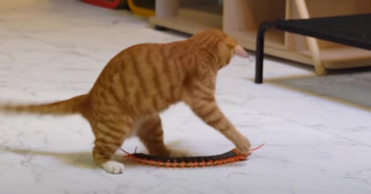 Gatto che gioca con un centopiedi