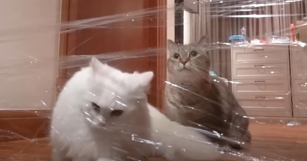 Gatti contro pellicola