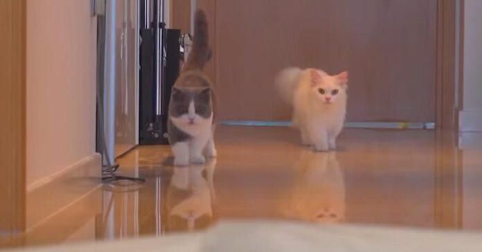 Gatti camminano