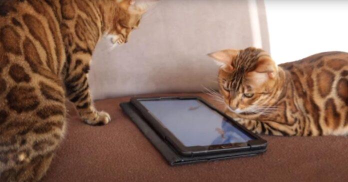 Due gatti del bengala osservano un Ipad