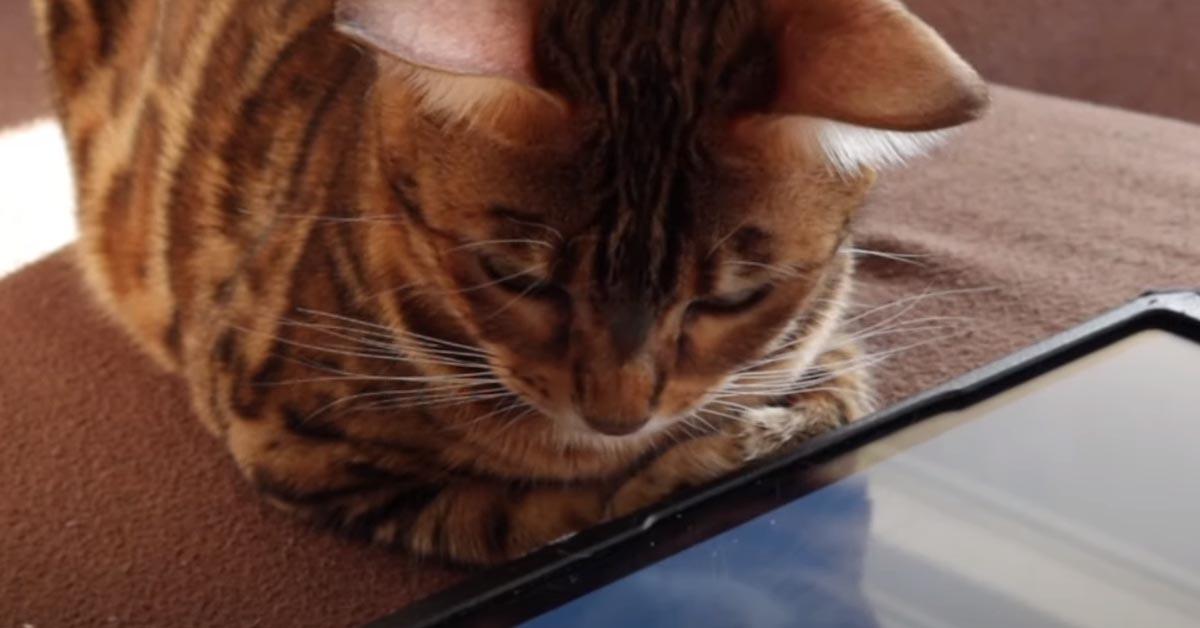 Gatto del Bengala che osserva un Ipad