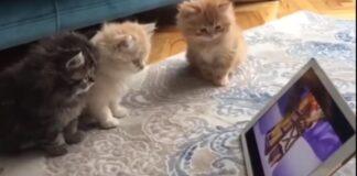 Gattini che osservano un tablet