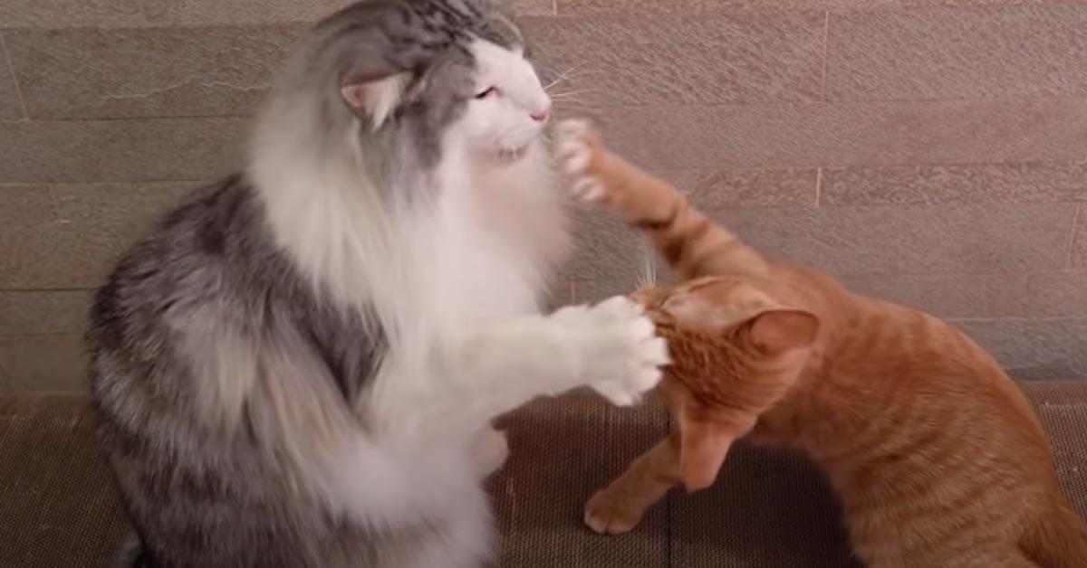 Gatti giocano