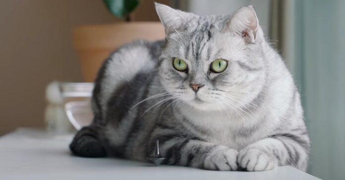 Gatto che osserva una trottola