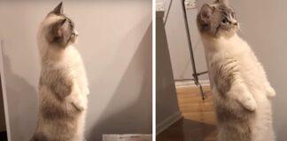 Gattino in piedi su due zampe