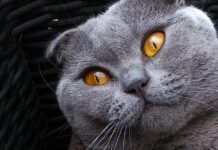 Gatto Scottish Fold che osserva