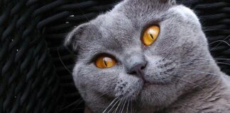 Gatto Scottish Fold che osserva