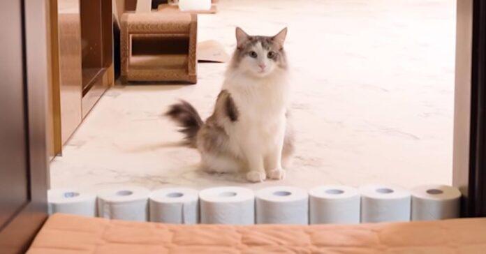 Gatto che guarda rotoli di carta igienica