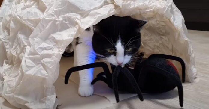 Gatto con un ragno
