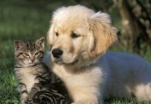 Gatto con cucciolo di Golden Retriever