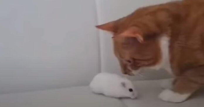 Gattino osserva un criceto