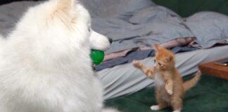 Gattino con un cane Samoiedo