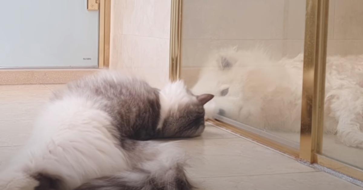 Gatto con un Samoiedo